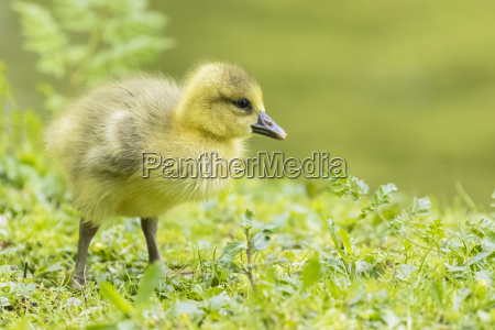 gosling of canada goose on a