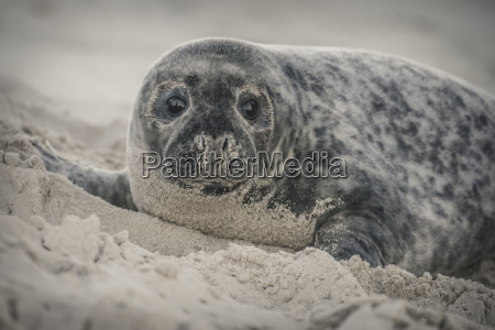 germany helgoland grey seal pup lying