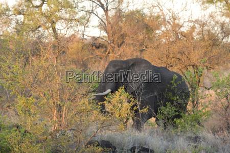 afrikanischer buschelefant beim spazierengehen im krueger