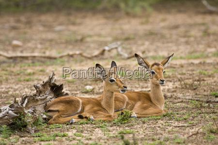 zwei wilde baby impalas mit einem