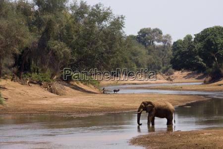 ein einsamer afrikanischer buschelefant am flussufer
