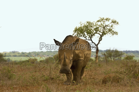afrikanische nashoerner ceratotherium simum im krueger