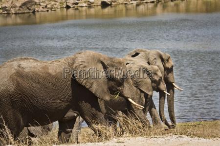 afrika elefanten herde gruppieren gruppe seite
