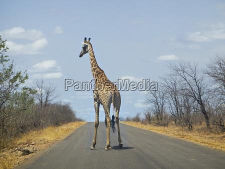 afrika horizontal mitte waagerecht giraffe kreuzung