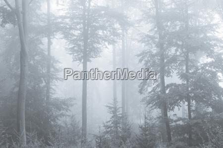 buchenwald am nebelmorgen spessart bayern deutschland