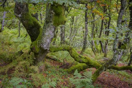 mossy beech tree vogesen elsass frankreich