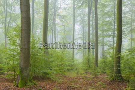 buchenwald am nebelmorgen im herbst naturpark
