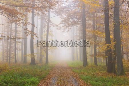 pfad durch misty european beech fagus