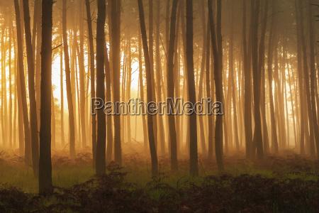 silhouetted baumstaemme in einem pinienwald mit
