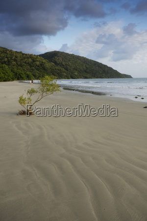 mangrove tree growing in sand with