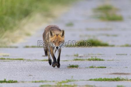 vorderansicht eines rotfuchses vulpes vulpes der