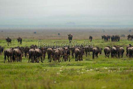 tier afrika wildlife afrikanerin schlicht safari