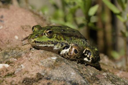 pond frog pelophylax esculentus rana esculenta