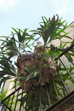 geweihfarn als balkonpflanze