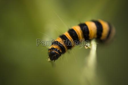 close up of cinnabar moth on