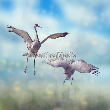pair of sandhill cranes courtship dance