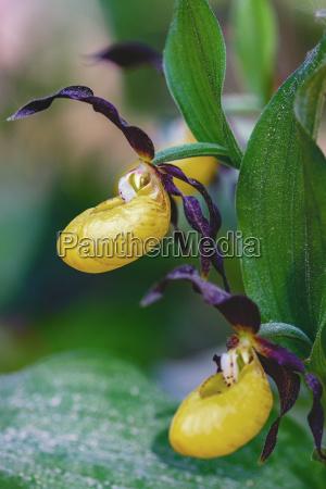 gelb frauenschuh cypripedium calceolus