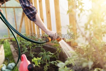 bewaesserung der saat tomatenpflanze im gewaechshaus