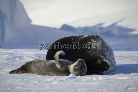 weddell seal and pup lying on