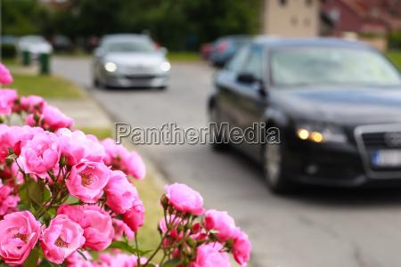 rose bush near the road