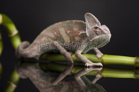 gruenes chamaeleon auf bambus eidechsen hintergrund