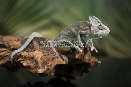 chameleon eidechse sitzt an der wurzel