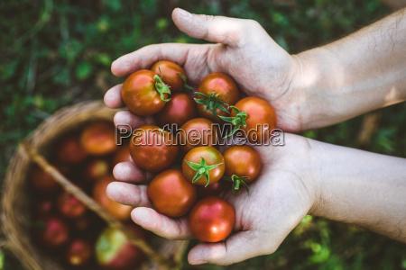 tomatenernte im herbst