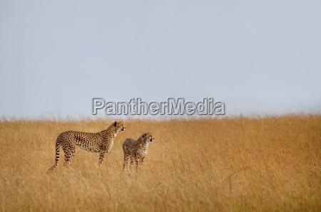 zwei geparde die in der afrikanischen