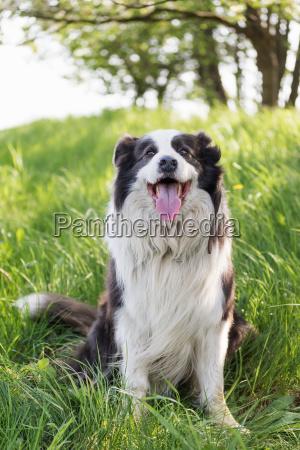 portrait of sitting smiling border collie