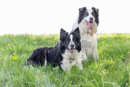 pair of border collie is