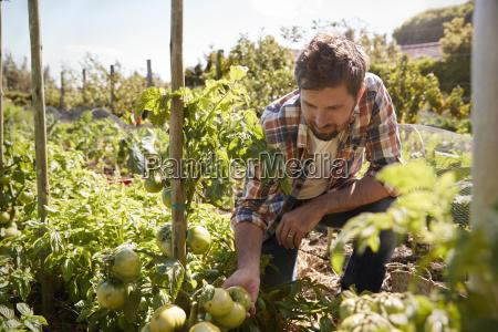man checking tomato plants growing on