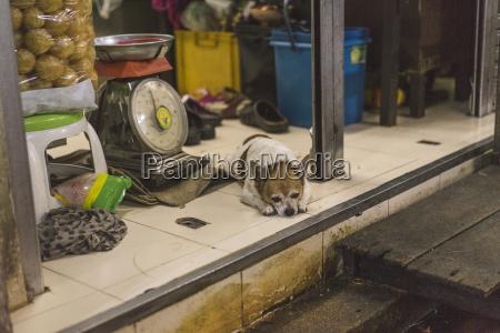 thailand bangkok dog lying in shop