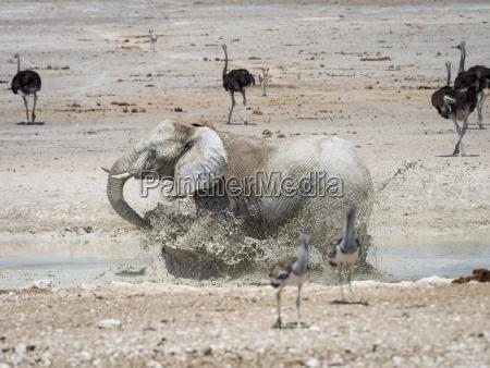 afrika namibia etosha nationalpark elefant laeuft