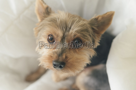 portrait of yorkshire terrier sitting on