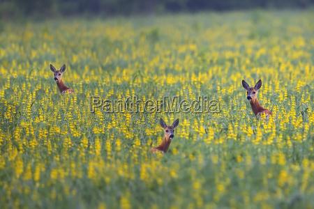 roe deers in a clearing