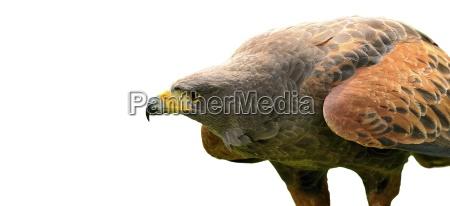 freisteller vogel schnabel abgeschieden adler isolierte