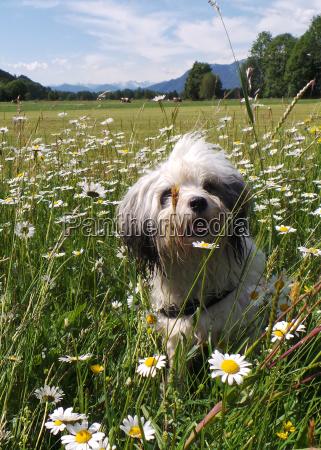 tibet, terrier, , rassehund, , in, der, wiese, - 25145908