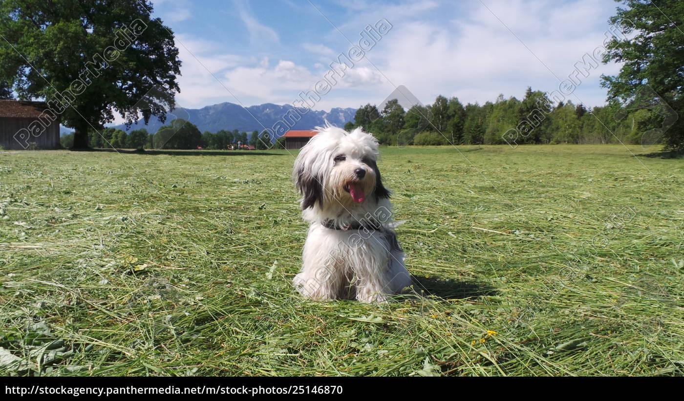 tibet, terrier, , rassehund, , in, der, wiese, - 25146870