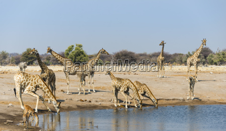 giraffes giraffa camelopardalis and black nosed