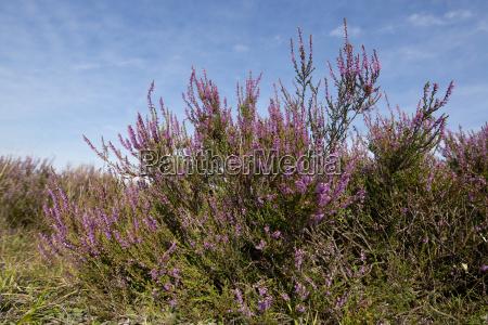 heidekraut besenheide calluna vulgaris bluehend naturschutzgebiet