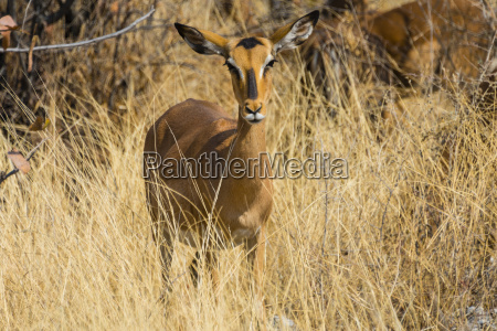 impalaaepyceros melampus petersiblackfaced impalafemale