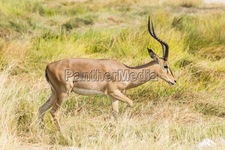black nose impala aepyceros melampus petersi