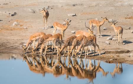 impala herd while drinkingblack nosed impala