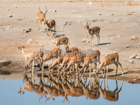 impala herd while drinking black nosed