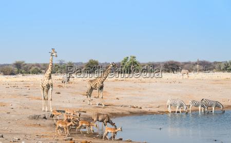 giraffes and black noses impala at