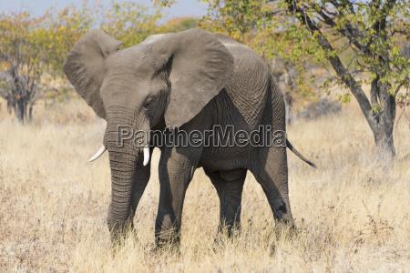 fressender elefant afrikanischer elefant loxodonta africana