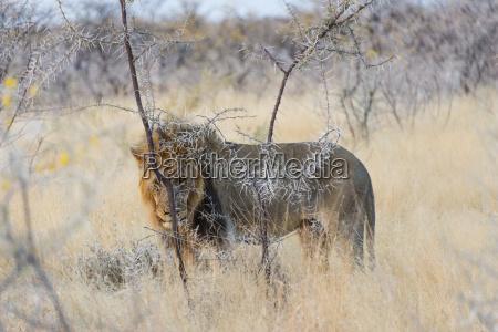 maennlicher loewe maehnenloewe panthera leo