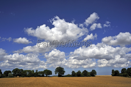 field and tree strip with cumulus