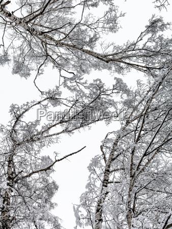 bodenansicht der schneebedeckten birkenspitzen