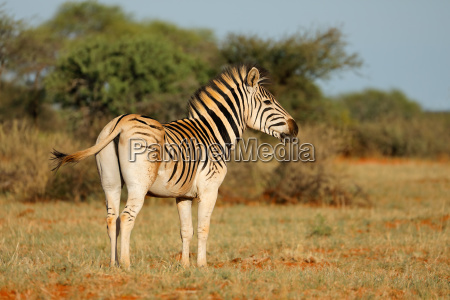 plains zebra in natural habitat